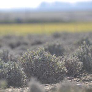 Levandų sodinukai
